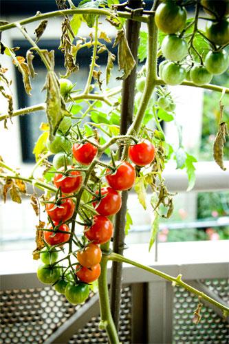 すずなりミニトマト