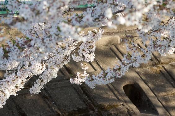 大乗院周辺の桜