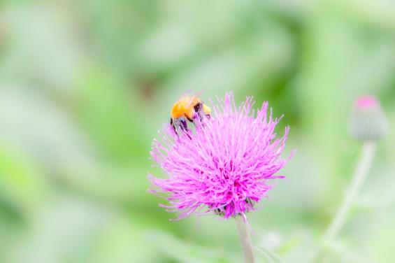 タムラソウとハチ