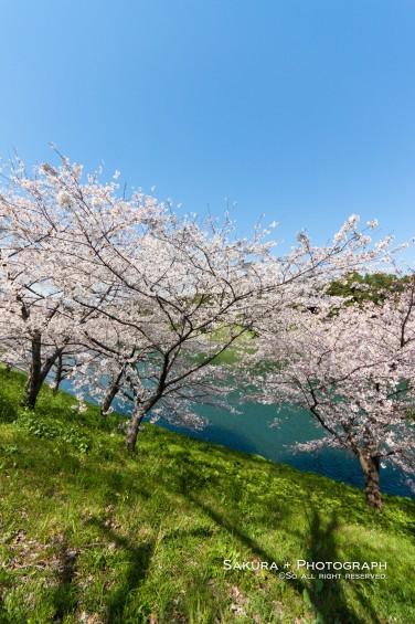 皇居の周りの桜