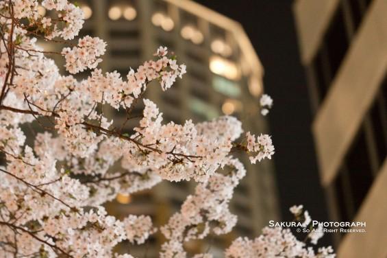 目黒川の夜桜 その3