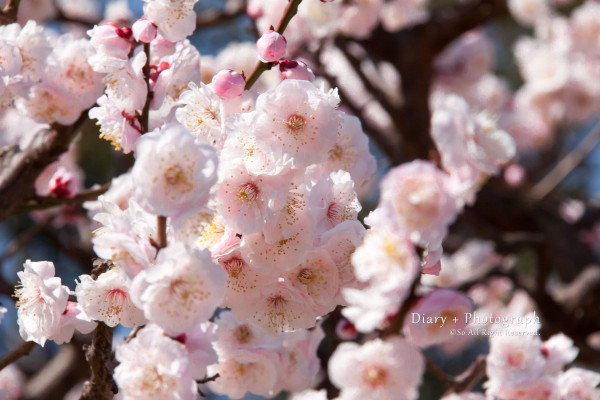 旧芝離宮恩賜庭園の梅